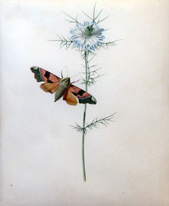 Johanna Helena Herolt Graff (GERMAN, 1668 - after 1702)  Love-in-a-mist with a Lime Hawkmoth  Watercolor and bodycolor on vellum