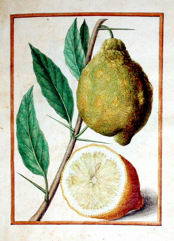 JACQUES LE MOYNE DE MORGUES (FRENCH, CA. 1533-1588) f.79: Lemon Watercolor and gouache on paper prepared as vellum