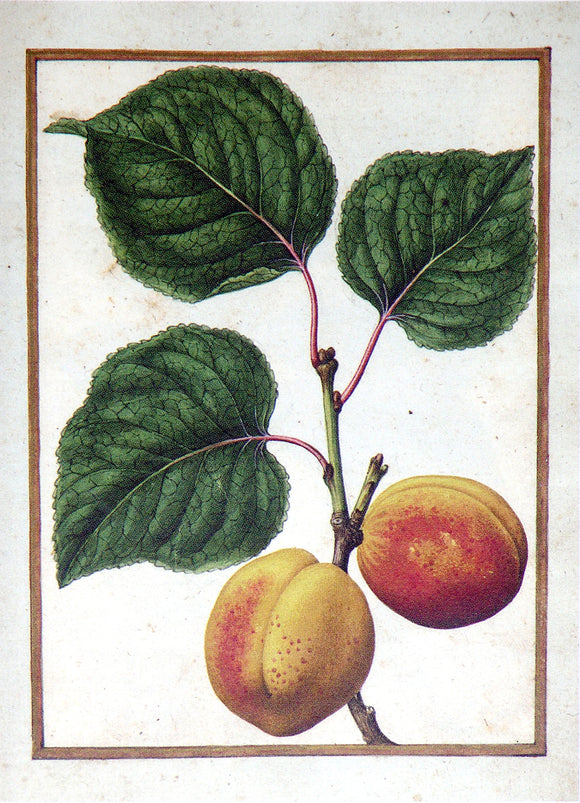 JACQUES LE MOYNE DE MORGUES (FRENCH, CA. 1533-1588) f.66: Nectarine Watercolor and gouache on paper prepared as vellum