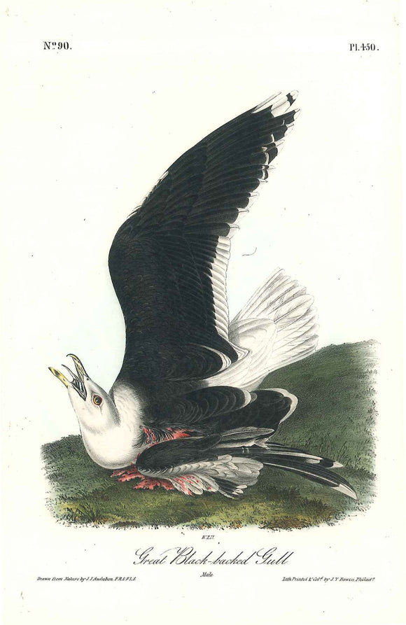 Plate 450, Great Black-backed Gull