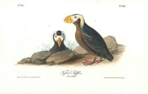 Plate 462, Tufted Puffin