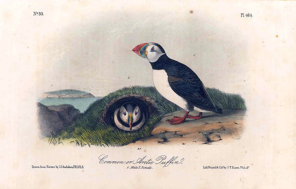 Plate 464, Common or Arctic Puffin