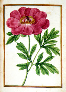 JACQUES LE MOYNE DE MORGUES (FRENCH, CA. 1533-1588) f.12: Peony Watercolor and gouache on paper prepared as vellum