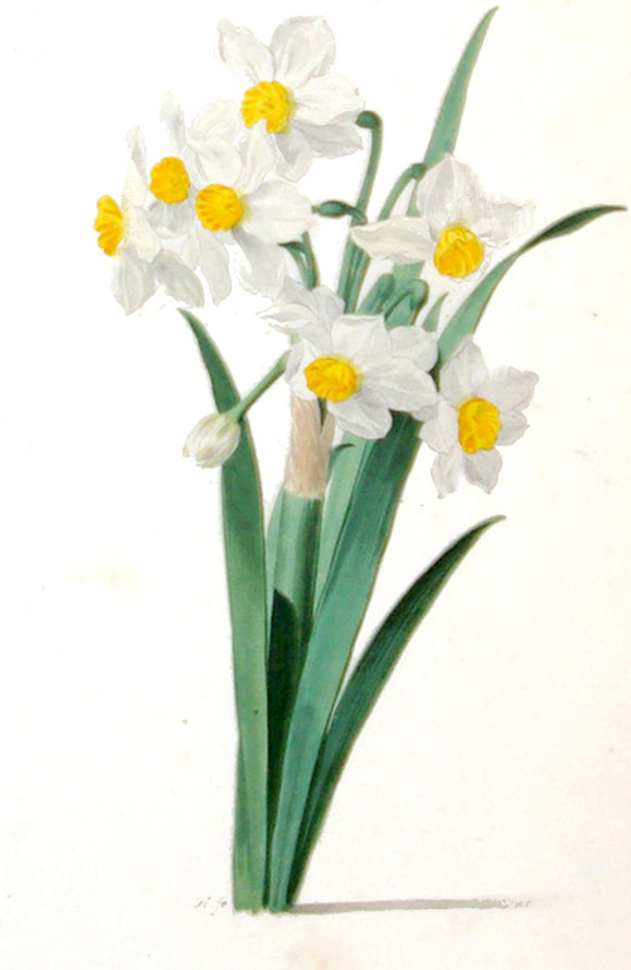 pieternbspholsteyn-the-elder-dutchnbspca-1580-1662-study-of-white-daffodils-watercolor-on-paper-signed-with-monogram