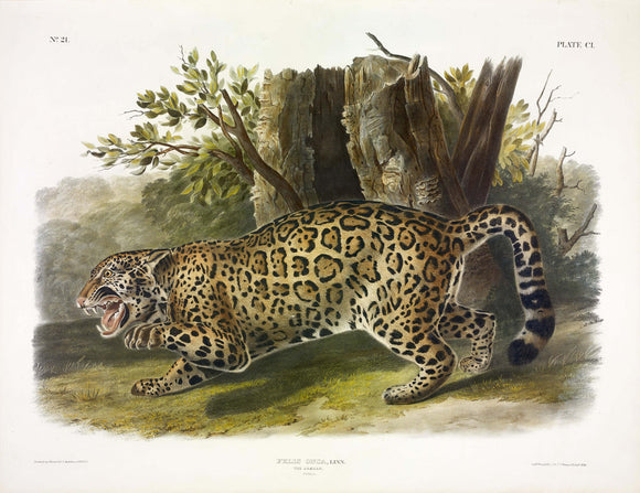 AUDUBON, John James (1785-1851) Vol. III, Plate 101, Jaguar