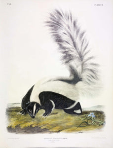 AUDUBON, John James (1785-1851) Vol. III, Plate 102, Large Tailed Skunk
