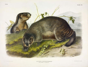 AUDUBON, John James (1785-1851) Vol. III, Plate 103, Hoary Marmot -- The Whistler