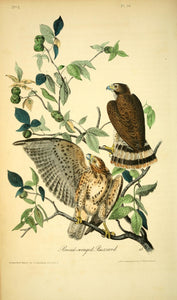 Plate 10, Broad-winged Buzzard