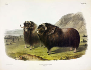 AUDUBON, John James (1785-1851) Vol. III, Plate 111, Musk Ox