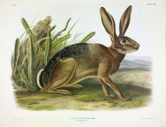 AUDUBON, John James (1785-1851) Vol. III, Plate 112, California Hare