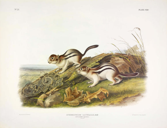 AUDUBON, John James (1785-1851) Vol. III, Plate 114, Say's Marmot Squirrel