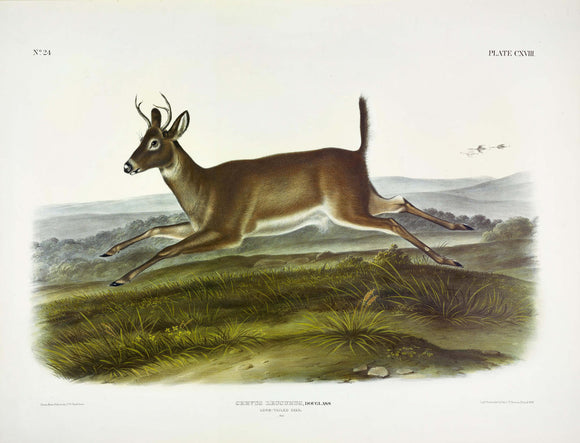 AUDUBON, John James (1785-1851) Vol. III, Plate 118, Long Tailed Deer