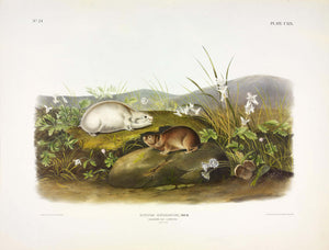 AUDUBON, John James (1785-1851) Vol. III, Plate 119, Hudson's Bay Lemming