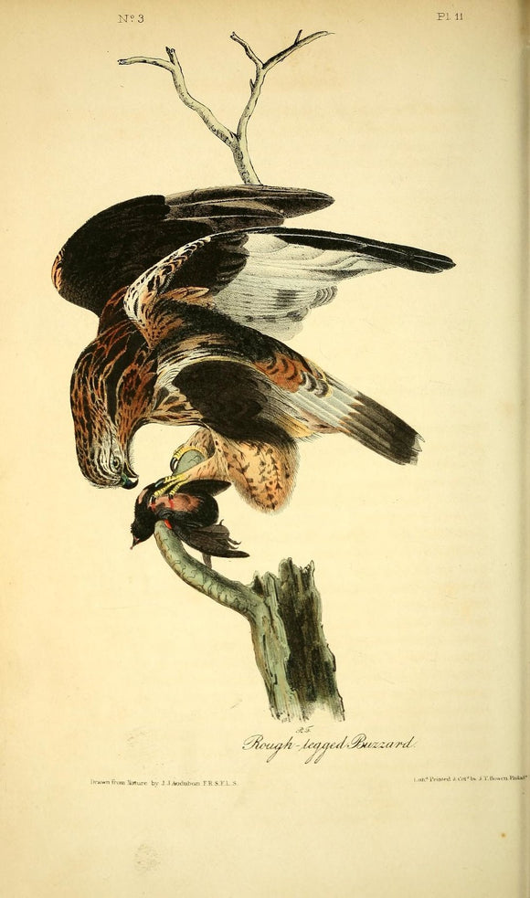 AUDUBON, John James (1785 - 1851). Plate 11, Rough-legged Buzzard