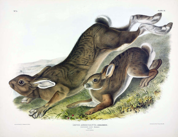 AUDUBON, John James (1785-1851) Vol. I, Plate 11, Northern Hare (Summer)
