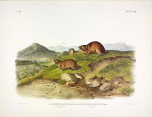 AUDUBON, John James (1785-1851) Vol. III, Plate 120, Tawny and Back's Lemming