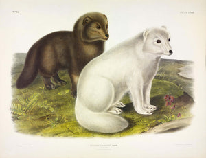 AUDUBON, John James (1785-1851) Vol. III, Plate 121, Arctic Fox