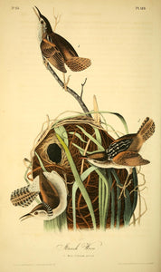 AUDUBON, John James (1785 - 1851). Plate 123, Marsh Wren