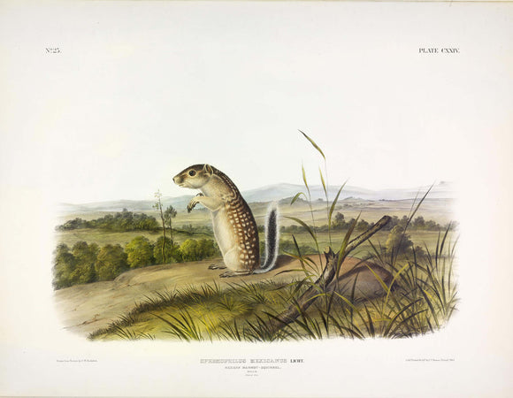 AUDUBON, John James (1785-1851) Vol. III, Plate 124, Mexican Marmot-Squirrel