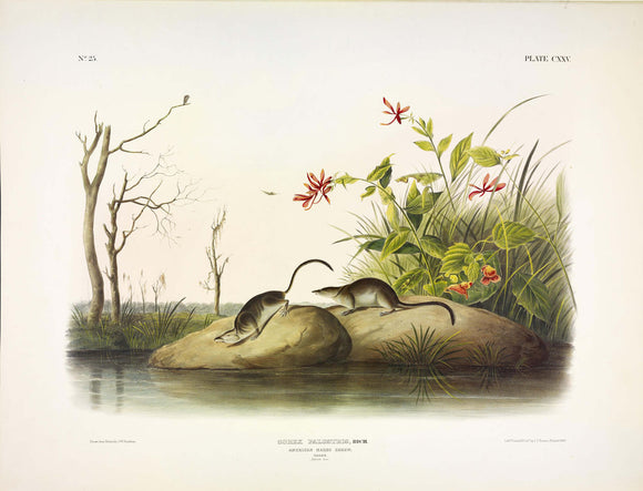 AUDUBON, John James (1785-1851) Vol. III, Plate 125, American Marsh Shrew