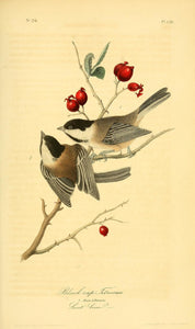 AUDUBON, John James (1785 - 1851). Plate 126, Black Cap Titmouse
