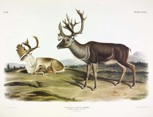AUDUBON, John James (1785-1851) Vol. III, Plate 126, Caribou
