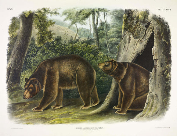 AUDUBON, John James (1785-1851) Vol. III, Plate 127, Cinnamon Bear