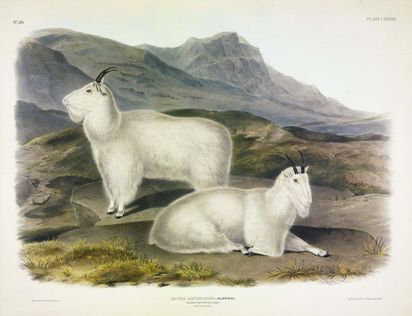 AUDUBON, John James (1785-1851) Vol. III, Plate 128, Rocky Mountain Goat