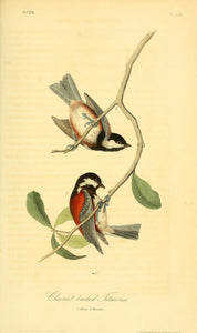 AUDUBON, John James (1785 - 1851). Plate 129, Chestnut-backed Titmouse