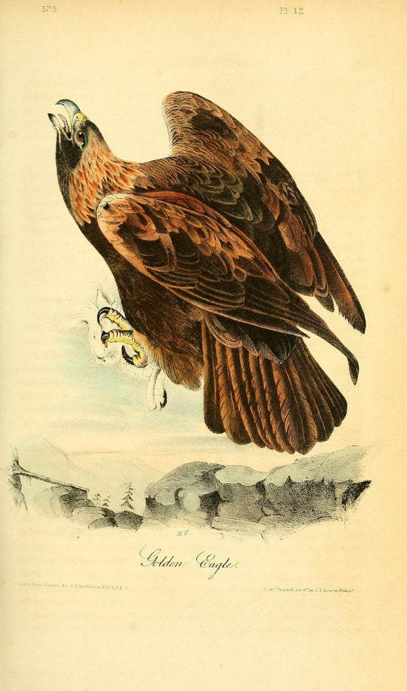 AUDUBON, John James (1785 - 1851). Plate 12, Golden Eagle