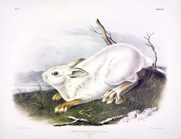 AUDUBON, John James (1785-1851) Vol. I, Plate 12, Northern Hare (Winter)