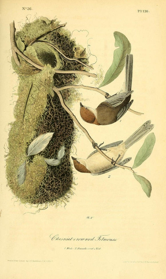 Plate 130, Chestnut-crowned Titmouse