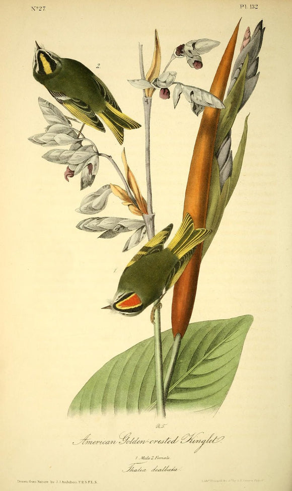 AUDUBON, John James (1785 - 1851). Plate 132, American Golden-crested Kinglet