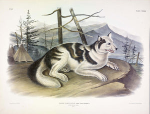 AUDUBON, John James (1785-1851) Vol. III, Plate 132, Hare Indian Dog
