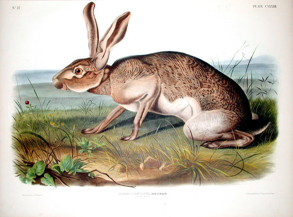 AUDUBON, John James (1785-1851) Vol. III, Plate 133, Texan Hare