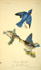 AUDUBON, John James (1785 - 1851). Plate 134, Common Blue Bird