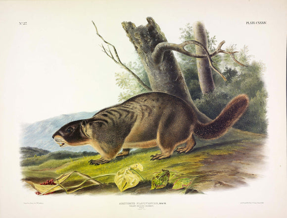 AUDUBON, John James (1785-1851) Vol. III, Plate 134, Yellow Bellied Marmot