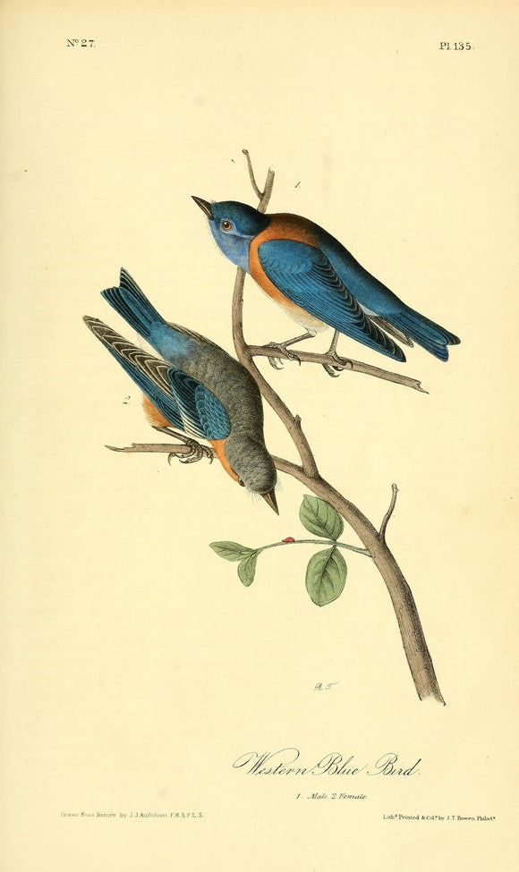 AUDUBON, John James (1785 - 1851). Plate 135, Western Blue Bird