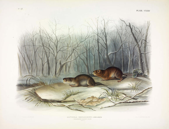AUDUBON, John James (1785-1851) Vol. III, Plate 135, Richardson's Meadow Mouse