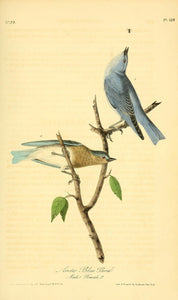 AUDUBON, John James (1785 - 1851). Plate 136, Arctic Blue Bird