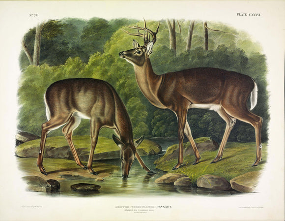 AUDUBON, John James (1785-1851) Vol. III, Plate 136, Common Deer