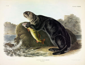 AUDUBON, John James (1785-1851) Vol. III, Plate 137, Sea Otter