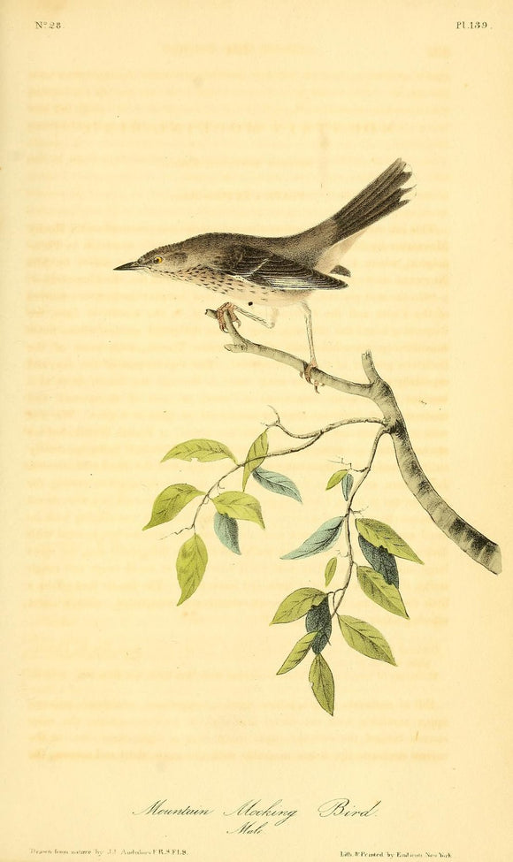 AUDUBON, John James (1785 - 1851). Plate 139, Mountain Mocking Bird