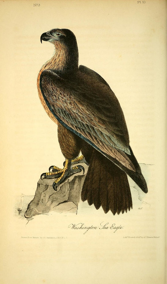 AUDUBON, John James (1785 - 1851). Plate 13*, Washington Sea Eagle
