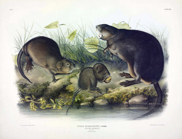 AUDUBON, John James (1785-1851) Vol. I, Plate 13, Muskrat
