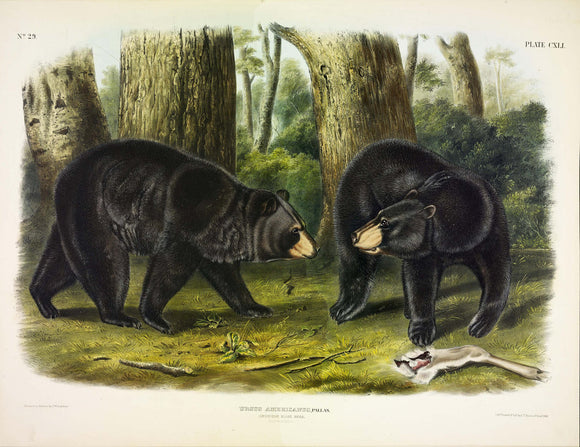 AUDUBON, John James (1785-1851) Vol. III, Plate 141, American Black Bear