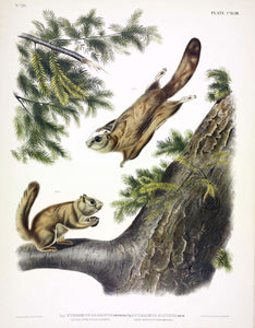 AUDUBON, John James (1785-1851) Vol. III, Plate 143, Severn River Flying Squirrel