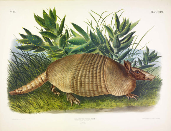 AUDUBON, John James (1785-1851) Vol. III, Plate 146, Armadillo