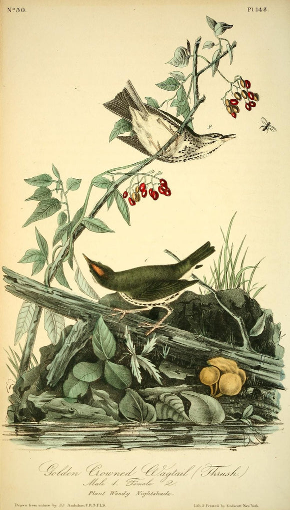 AUDUBON, John James (1785 - 1851). Plate 148, Golden-crowned Wagtail