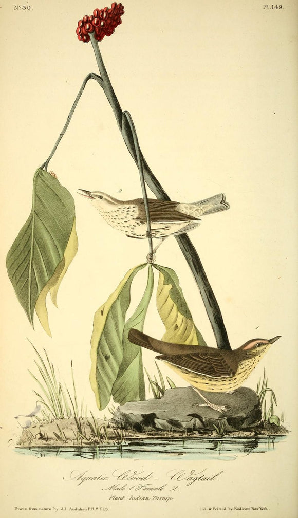 AUDUBON, John James (1785 - 1851). Plate 149, Aquatic Wood Wagtail